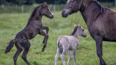 A one-week-old Icelandic foal, left, wants to play with the mother of a one-day-old foal, center, at a stud farm in Wehrheim…