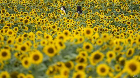 Visitors wearing face masks as a precaution against the coronavirus, walk through a sunflower field during the lunch break in…