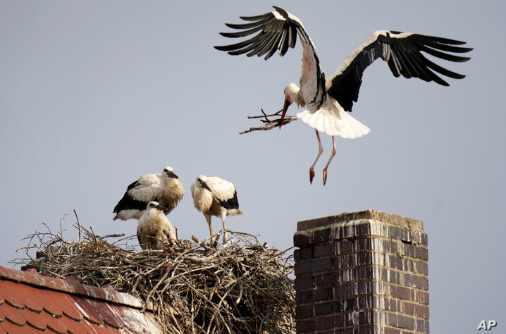 A stork lands in its nest near to the young storks in Herzogenaurach, Germany, Tuesday, June 22, 2021. (AP Photo/Matthias…