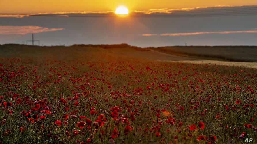FILE - In this file photo dated Monday, June 8, 2020, poppy flowers are in full blossom on the outskirts of Frankfurt, Germany,…