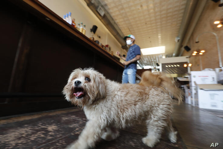 Havanese dog Brooklyn walks around the Shoals Sound & Service vegan restaurant as his owner Omar Yeefoon works is in the…