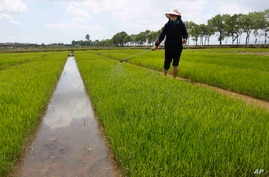 Farmers manage rice seedlings at the Namsa Co-op Farm of Rangnang District in Pyongyang, North Korea  on Tuesday, May 25, 2021…