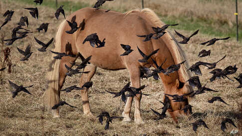 An Iceland horse is surrounded by starlings as it grazes on the meadow of a stud in Wehrheim near Frankfurt, central Germany, Thursday, Sept.5, 2019.