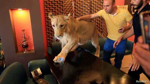 A Kurdish man tries to pet and play with Leo, a 15-month old lion owned by Kurdish Sheikh Blend Mamoon, at a cafe in Duhok, Iraq August 23, 2019. Picture taken August 23, 2019. REUTERS/Ari Jalal     TPX IMAGES OF THE DAY - RC18ED34C4F0