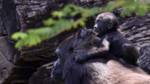 Western lowland gorilla Lou Lou and her daughter are seen at the zoo in Belo Horizonte, Brazil, on October 14, 2019.