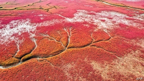 This aeiral photo shows a view of the red beach caused by the red plant of Suaeda salsa in Panjin, in China's northeastern…