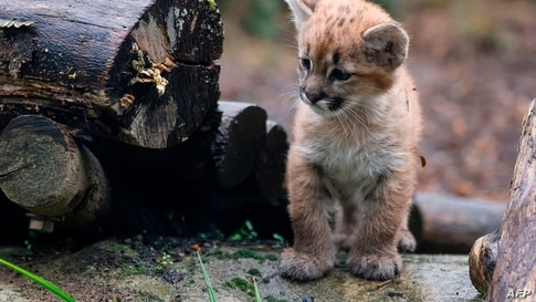 A month and a half female puma cub, Emy, born on August 21, 2020 looks on in its enclosure at the Zoo de Vincennes near Paris,…