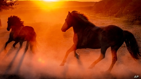 Iceland horses raise dust as they run in their paddock at a stud farm as the sun rises early Wednesday, Aug. 5, 2020, in…