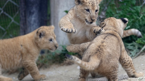 Barbary lion cubs play in their enclosure at the zoo in Dvur Kralove, Czech Republic, Thursday, Sept. 10, 2020. Three Barbary…
