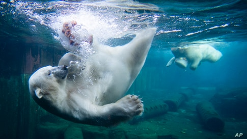 Two polar bears dive for ice cream cakes in the water basin at the Zoo in Hanover, Germany, Wednesday, Sept. 16, 2020. (Julian…