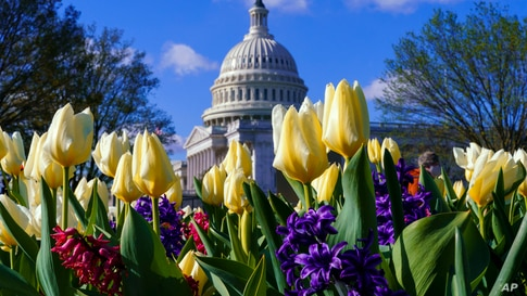 Flowers bloom on Capitol Hill in Washington, Friday, April 2, 2021, as Congress is away for a two-week holiday recess. (AP…