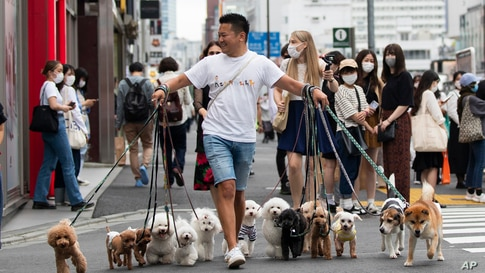 Professional dog walker Nobuaki Moribe leads his clients' pets across an intersection in Tokyo on Friday, May 28, 2021. (AP…