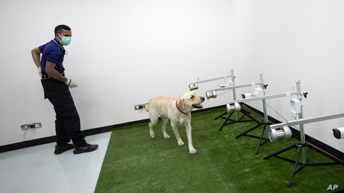 A dog trainer watches Bobby, a Labrador Retriever, sniffs samples of human sweat through containers to detect the COVID-19…