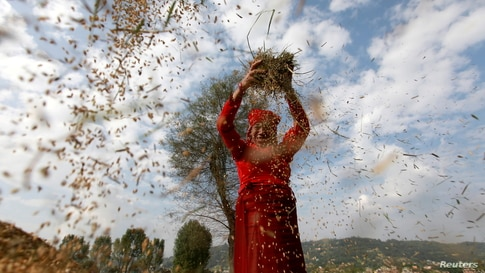 A farmer harvests rice at a field on World Food Day in Bhaktapur