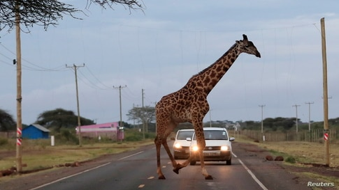 A giraffe crosses a road laced with an electric fence within the Kimana Sanctuary within the Amboseli ecosystem in Kimana