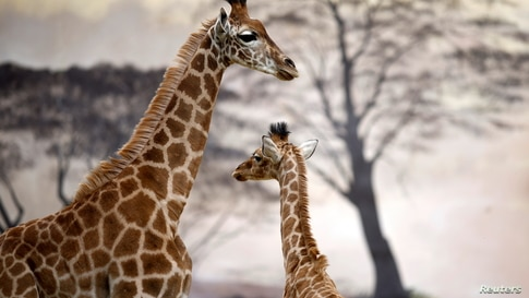 French zoo welcomes second baby giraffe in a year