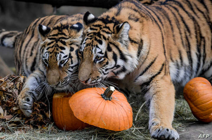 Two Siberian tigers inspect pumpkins filled with meat on September 27, 2018 at the Tierpark Hagenbeck zoo in Hamburg, northern Germany. / AFP PHOTO / dpa / Axel Heimken / Germany OUT