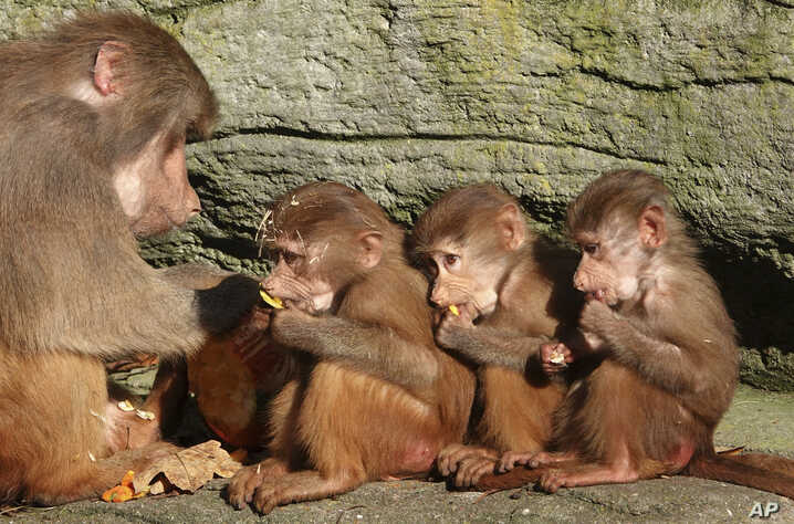 Three monkey cubs are fed by an adult animal at the Hagenbeck animal park in Hamburg, northern Germany.