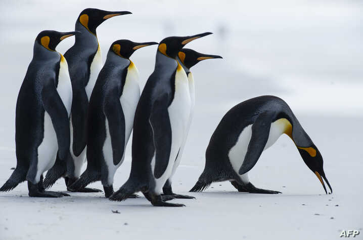 (FILES) In this file photo taken on October 06, 2019 King penguins are seen at Volunteer Point, north of Stanley in the Falkland Islands (Malvinas), a British Overseas Territory in the South Atlantic Ocean, on October 6, 2019.