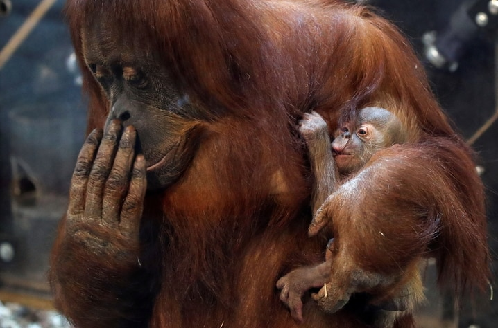 Eleven-day-old baby orangutan is held by its mother at Pairi Daiza in Brugelette