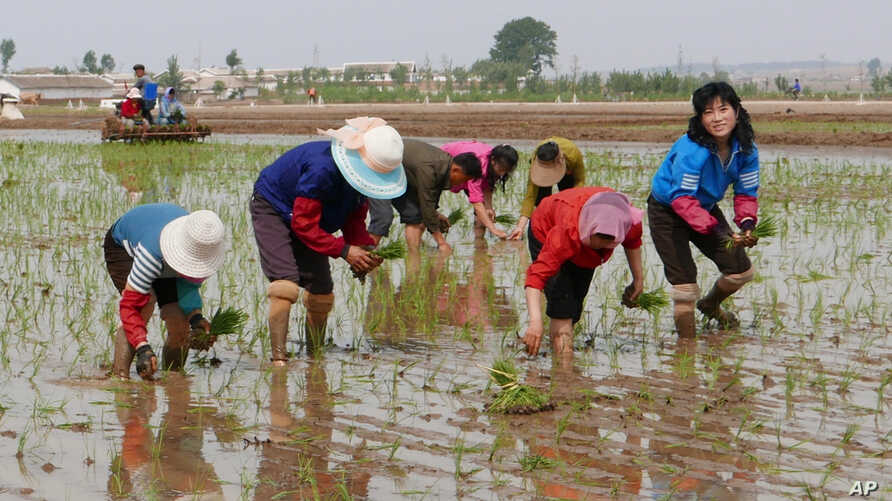 In this May 17, 2019, photo, North Korean farmers plant rice seedlings in a field at the Sambong Cooperative Farm, South…