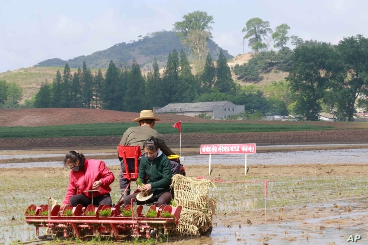 Farmers on the Chongsan-ri cooperative farm start planting rice for this year on Tuesday, May 12, 2020, in Nampho, North Korea…