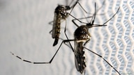 FILE PHOTO: Aedes aegypti mosquitoes are seen inside Oxitec laboratory in Campinas, Brazil, February 2, 2016. REUTERS/Paulo…