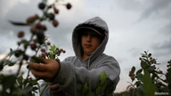 A Mexican migrant worker picks blueberries during a harvest at a farm in Lake Wales, Florida, U.S., March 31, 2020. Picture…
