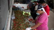Workers clean and sort strawberries to be packaged at the San Ernesto plantation, traditionally dedicated to the cultivation of…