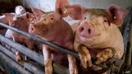 Pigs are seen in a shed of a pig farm with 800 pigs in Harheim near Frankfurt, Germany, Friday, June 19, 2020. The pigs are…