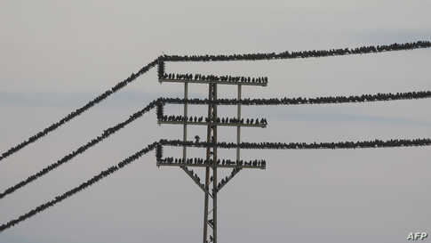 Starlings stand on an electricity cable near the Israeli city of Beit Shean in the Jordan Valley.