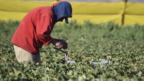 A farmworker picks strawberries at a farm in the town of San Quintin, Baja California March 25, 2015. Thousands of farmworkers…