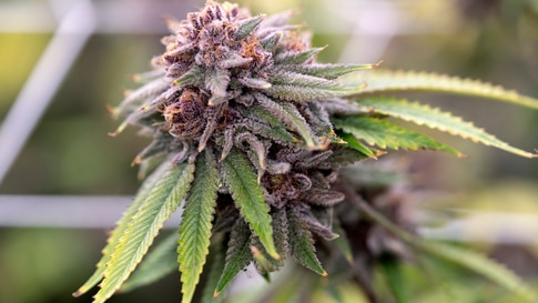 In this Friday, May 8, 2020 photo shows a mature marijuana plant flowering prior to harvest under artificial lights at Loving…