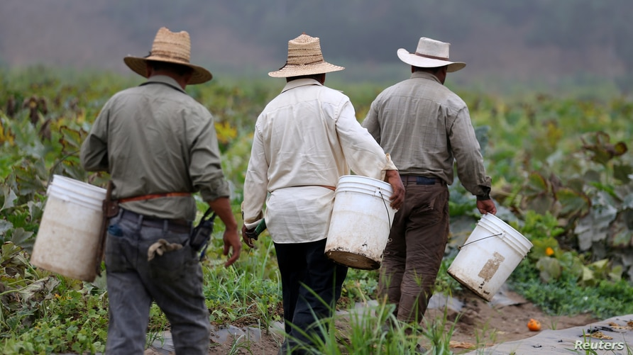 Farm workers head in the early morning to pick vegetables on a farm in Rancho Santa Fe, California, United States August 31,…