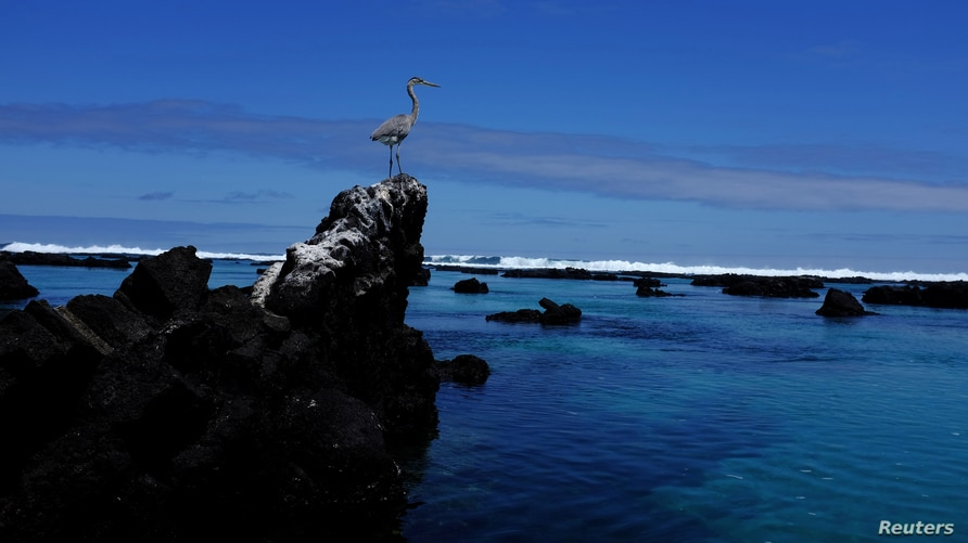 A great blue heron perches on a rock in Isabela Island at Galapagos National Park, Ecuador, October 11, 2016. Picture taken…