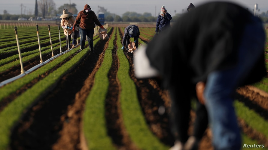 Agricultural workers clean carrot crops of weeds amid an outbreak of the coronavirus disease (COVID-19) at a farm near Arvin,…