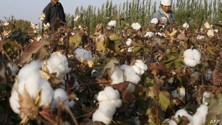 Migrant workers pick cotton picked from fields in Korla, 10 October 2006, an oil town on the edge of the Tarim Basin and the…