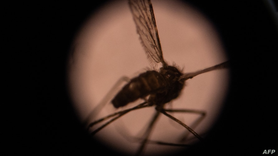 This illustration picture taken on August 22, 2019 shows a mosquito seen through a microscope in the entomology laboratory at…