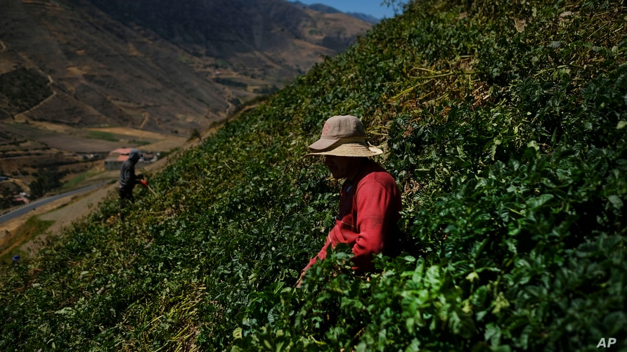 Leonel Zapata, a 30-year-old seasonal farm worker, harvests potatoes on the side of a mountain in Merida, Venezuela, Thursday,…