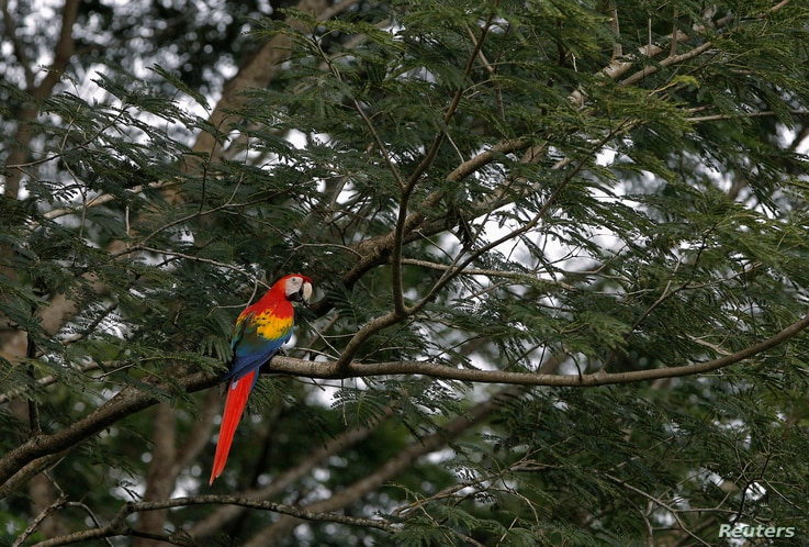 A Scarlet Macaw rests on a tree after it was released at a forest in Paquera, northwest of San Jose, October 19, 2012. The…