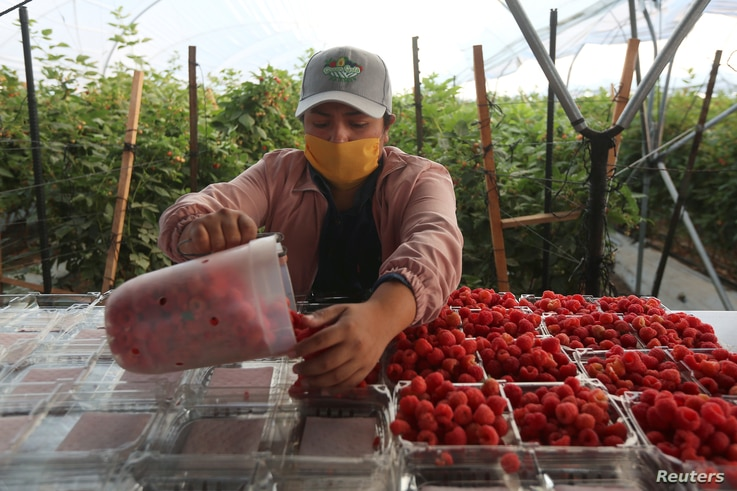 A fruit picker sorts fresh raspberries at a farm owned by Driscoll's, a California-based seller of berries, as the outbreak of…